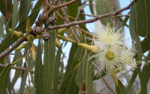 The eucalyptus tereticornis