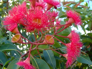 Gorgeous pink flowers of a eucalyptus, at their peak in summer